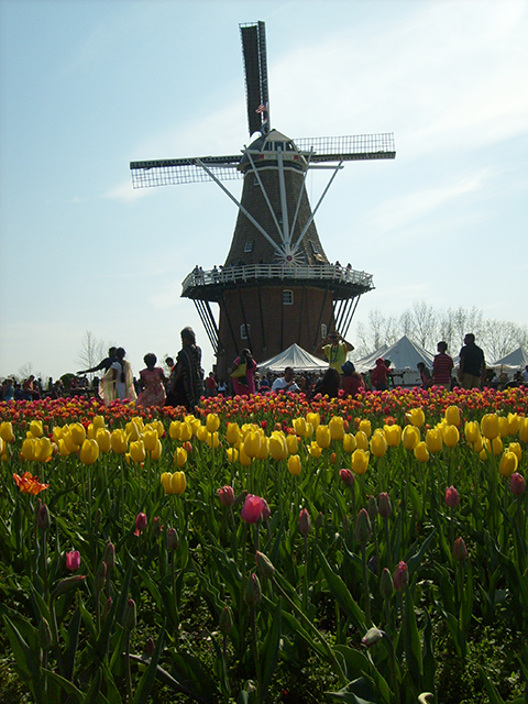Windmill and tulips in Holland, MI.
