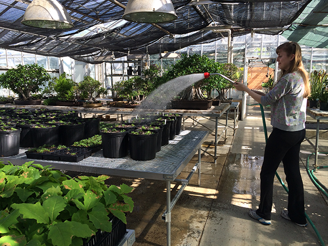 My colleague, Jill Matthijs, watering our recently transplanted flower seedlings at the Matthaei Botanical Gardens greenhouse before the field season.