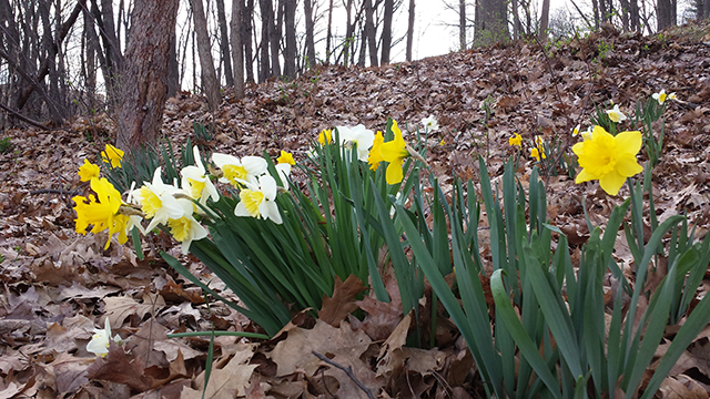 Daffodils blooming amid dead leaves.