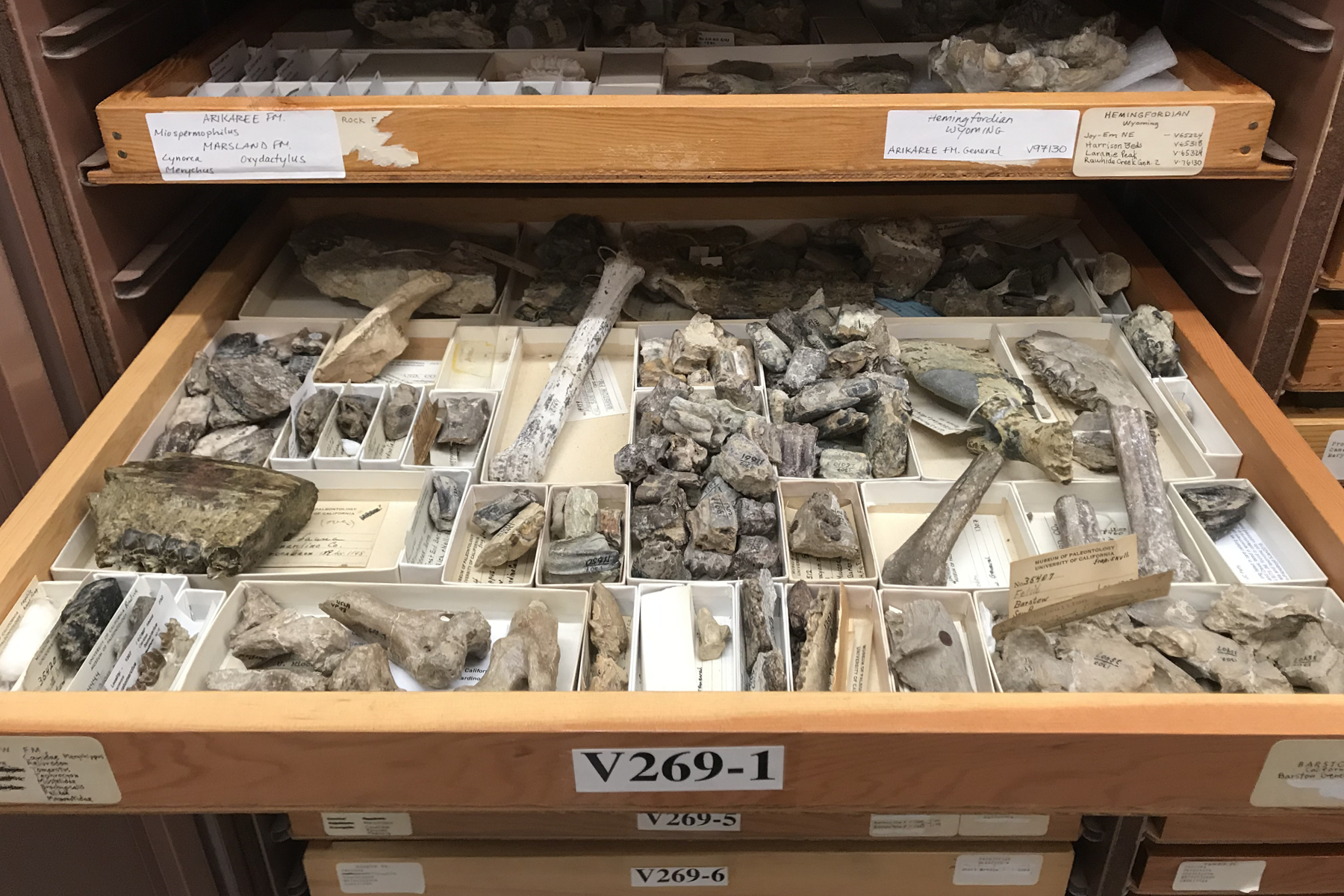 Drawers of fossils in a museum