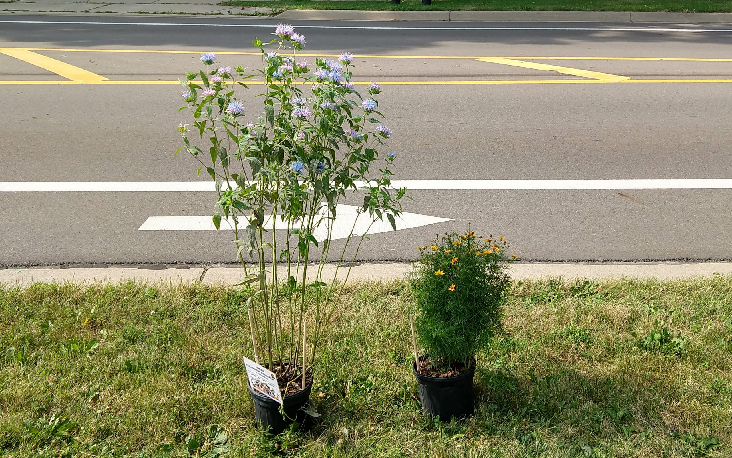 Bee balm and coreopsis plants across the road from one another.